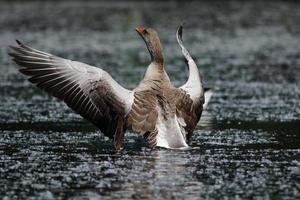 Greylag Goose, Anser anser photo