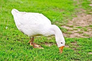 ganso pellizcos blancos hierba foto