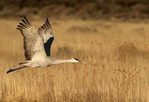 Sandhill Crane In Flight photo