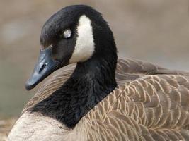 sleeping canada goose photo