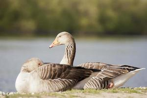Greylag Goose photo
