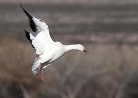 gansos de nieve aterrizando foto