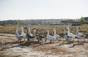 formación de gansos en el campo de verano foto