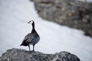 Barnacle goose perched on rock turning head