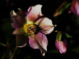 Around our pond -  Helleborus orientalis 'Ballard Hybrids'...