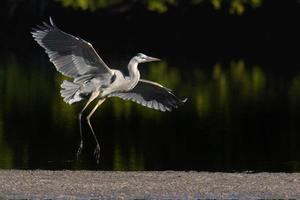 Great Blue Heron 1 photo