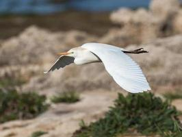 Cattle Egret in Flight photo