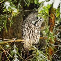 Big grey owl at tree in winter4 photo