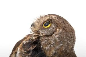 Oriental scops owl isolate on white background photo
