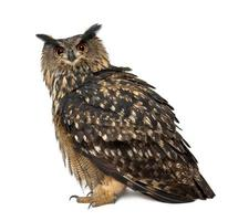 Eurasian Eagle-Owl, Bubo, 15 years old, standing against white background