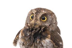 Oriental scops-owl isolate on white background photo