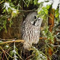 Big grey owl at tree in winter3 photo