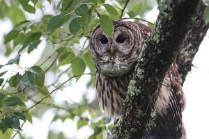Wild Owl in a Tree photo