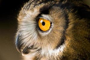 Owl eye photo
