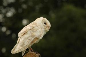 Barn owl on wooden perch