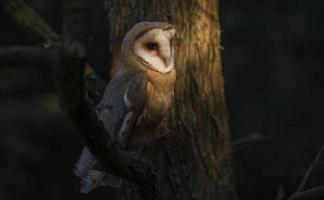 Barn owl perched on a branch photo