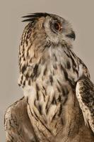 EAGLE OWL 07