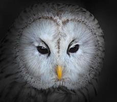 The Ural owl (Strix uralensis).