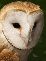 The Barn Owl photo