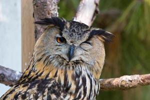 coruja de águia - bubobubo