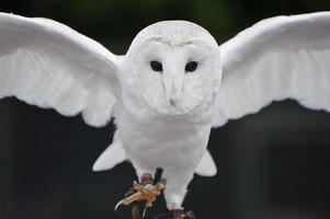 Barn owl bird of prey in falconry display photo