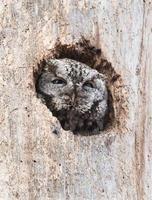 Eastern Screech Owl photo