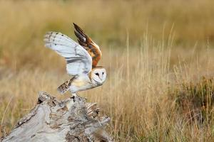 Barn owl sitting on a stump