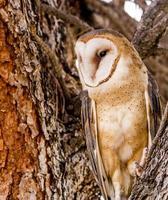 Common Barn Owl in Winter Setting photo