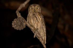Eurasian Scops Owl photo