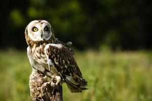 Short-Eared Owl On The Hunt For Food photo