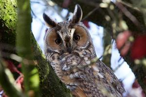 long eared owl looking in to the camera