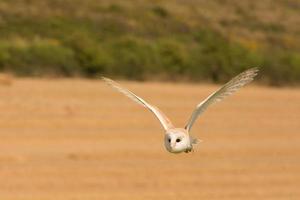 barn owl flying photo