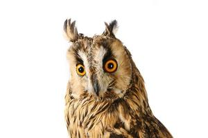 Long-eared Owl isolated on white