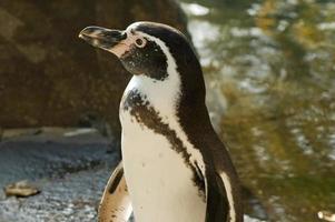 pingüino de humbolt foto