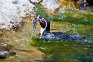 pingüino de humboldt foto