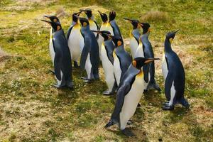 pingüinos rey foto