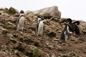 Pingüino de Humboldt en la isla Ballestas, Parque Nacional de Paracas, Perú. foto