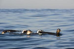 Swimming  African penguins (spheniscus demersus)