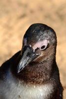 pingüino africano foto