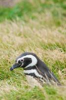 vista lateral de pingüino foto