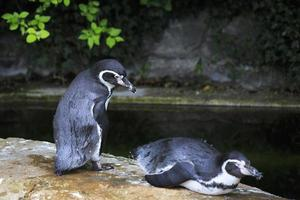 Pingüino de Humboldt.