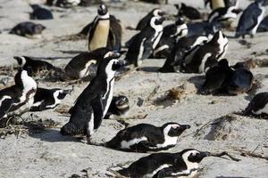Colonia de pingüinos en la playa de cantos rodados, la ciudad de Simon, Sudáfrica foto