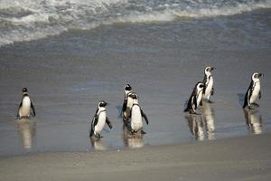 pingüinos africanos en la orilla foto