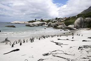 African penguins on beach