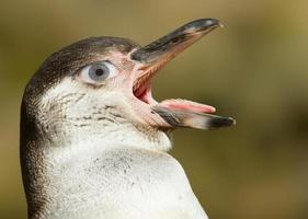 pingüino de humboldt con ojo humano foto