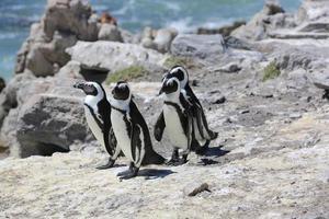 pingüinos africanos foto