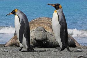 twee koningspinguïns die langs een zuidelijke zeeolifant lopen