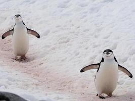 pingüino de barbijo foto