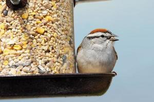 Chipping sparrow eating photo
