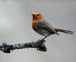 Beautiful Robin photo